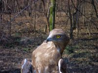 Short-toed eagle