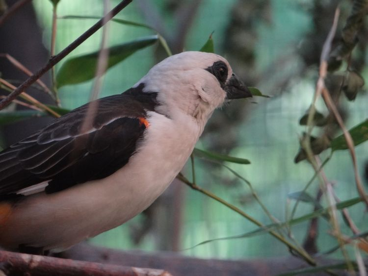 White-headed Buffalo-weaver