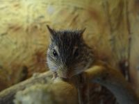 Barbary striped grass mouse