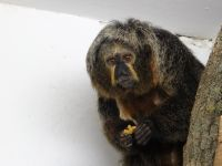 White-faced saki