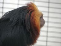 Golden headed lion tamarin