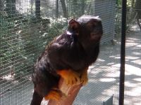 Red handed tamarin