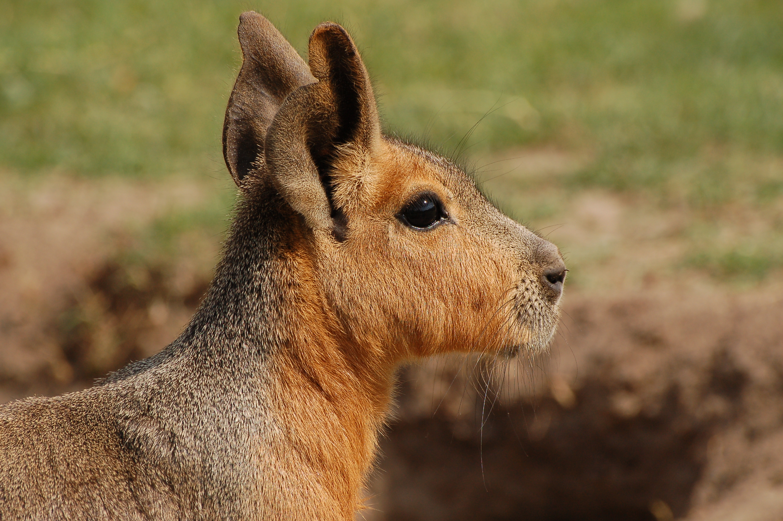 ZooPic - Patagonian Mara picture