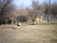 Guanaco,Greater rhea