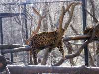 North China leopard