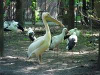 Stork,Great White Pelican