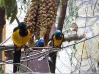 Golden-breasted Starling,White-headed Buffalo-weaver